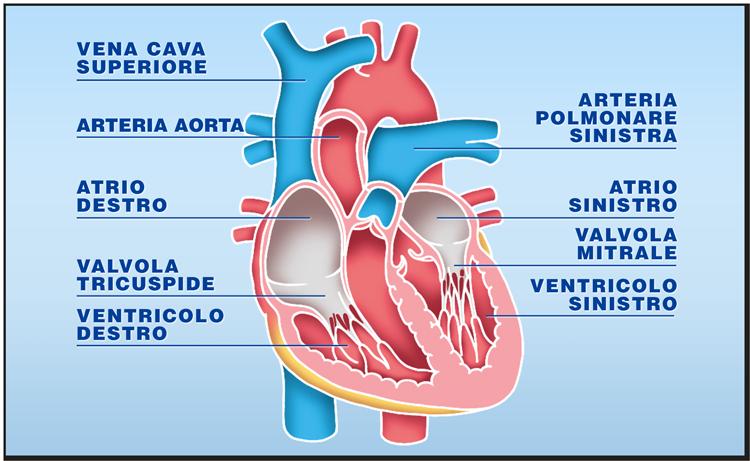 Quali organi possono essere trapiantati: il cuore