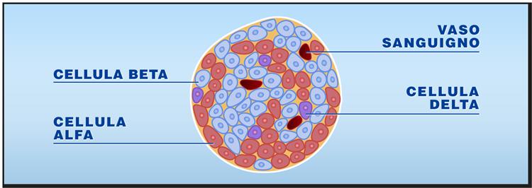 Quali organi e tessuti possono essere trapiantati: isole pancreatiche