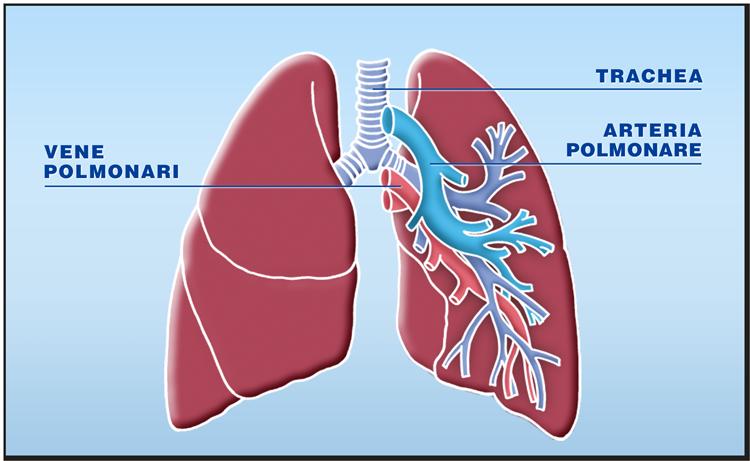 Quali organi possono essere trapiantati: il polmone