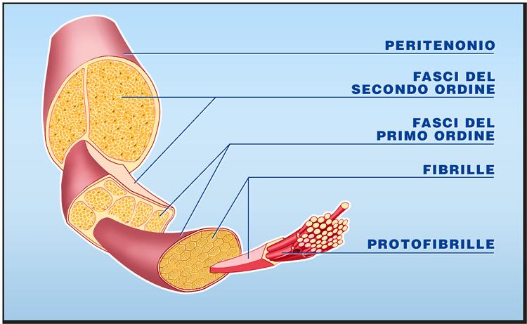 Quali tessuti possono essere trapiantati: i tendini