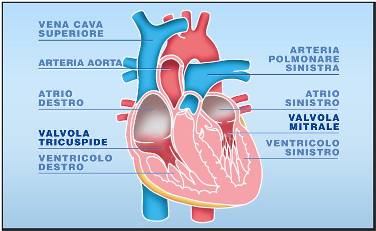Quali tessuti possono essere trapiantati: le valvole cardiache